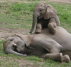 Effect of elephant culling felt most strongly by the young ones who are allowed to live and are subsequently captured and sent as slaves for human entertainment, to zoos. The grief of the young elephants must be enormous.