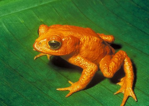 The Golden Toad, now extinct due to humans