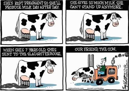 life of the cow