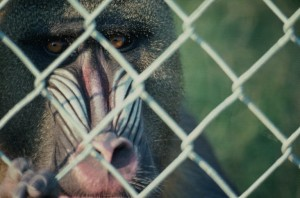 1015-baboon-cage